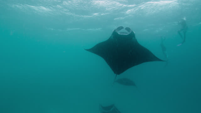 manta rays somersault as they feed, indian ocean. - in a row stock videos & royalty-free footage