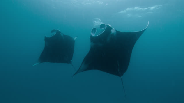 manta rays somersault as they feed, indian ocean. - manta ray stock videos & royalty-free footage