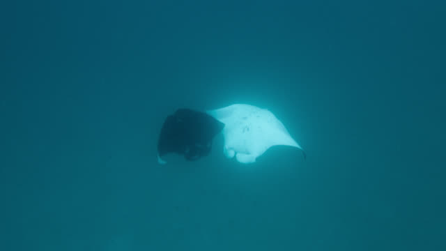 vídeos de stock e filmes b-roll de manta rays somersault as they feed, indian ocean. - grande raia