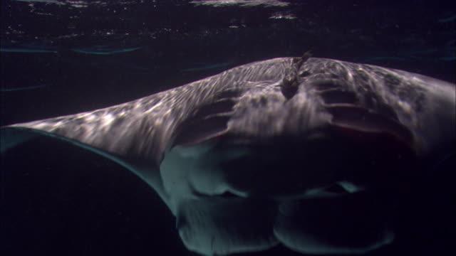 Manta rays (Manta alfredi) swim and feed in Pacific ocean at night, Hawaii
