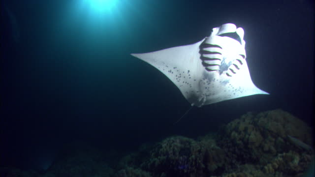 vídeos de stock e filmes b-roll de manta rays (manta alfredi) swim and feed in pacific ocean at night, hawaii - grande raia