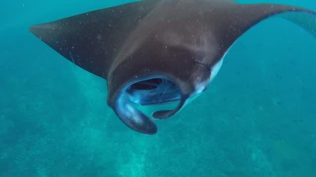 Manta rays swim in the blue green sea.