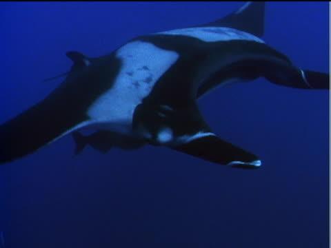 vídeos y material grabado en eventos de stock de manta rays swim near the surface of the pacific ocean. - simbiosis