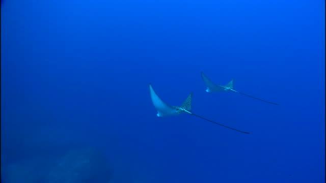 manta rays swim side by side. - manta ray stock videos & royalty-free footage