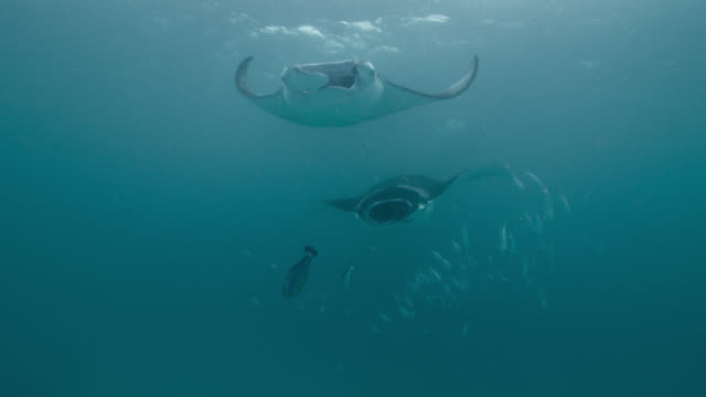 vídeos de stock e filmes b-roll de manta rays swim through shoal of fish, indian ocean. - grande raia