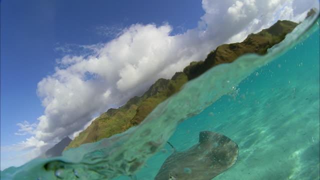 slo mo cu manta rays (manta birostris) swimming at ocean surface / moorea, tahiti, french polynesia - moorea stock videos & royalty-free footage