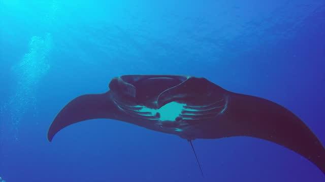 manta rays swimming underwater at lady elliot island / queensland, australia - undersea stock videos & royalty-free footage