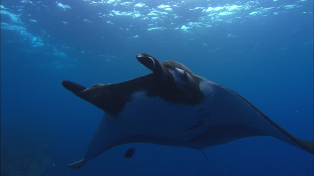 manta rays tagged, mexico  - wildlife tracking tag stock videos and b-roll footage