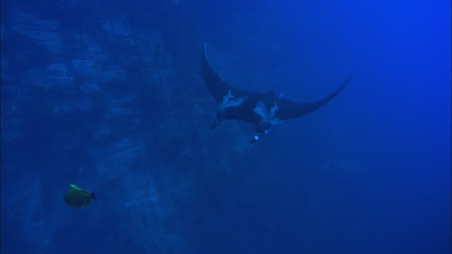 manta rays tagged swim by, mexico  - wildlife tracking tag stock videos and b-roll footage