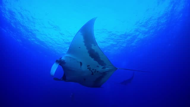 manta rays underwater in socorro, mexico - baja california peninsula stock videos & royalty-free footage