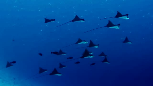 manta rays. underwater scenery - manta ray stock videos and b-roll footage