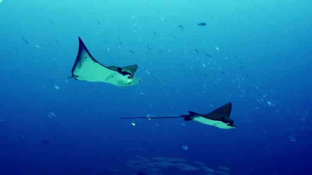 manta rays. underwater scenery - underwater camera stock videos & royalty-free footage