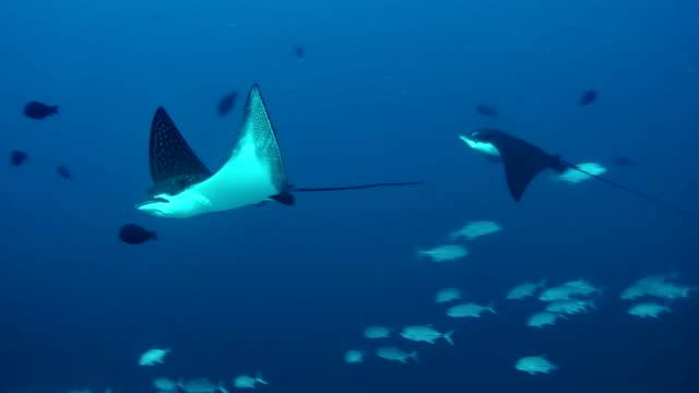 manta rays. underwater scenery - parte del corpo animale video stock e b–roll