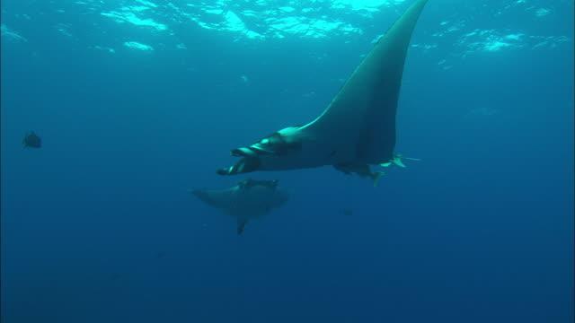 manta swimming past. mexico  - 通過する点の映像素材/bロール