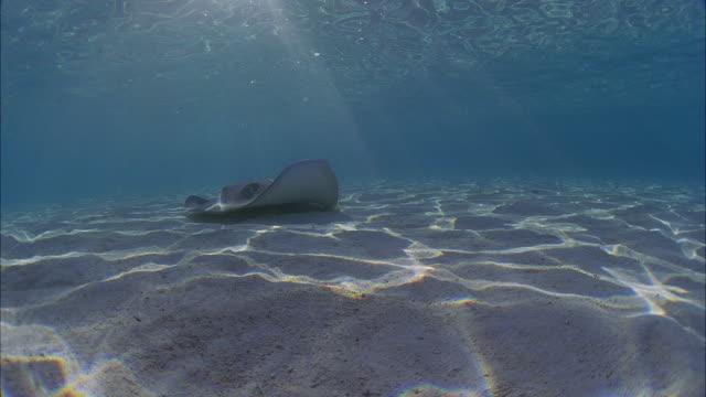 SLO MO WS Manta-ray (Manta birostris) swimming at ocean floor / Moorea, Tahiti, French Polynesia
