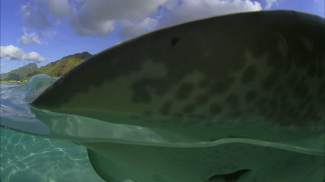 slo mo cu manta-ray (manta birostris) swimming at ocean surface, hills in background / moorea, tahiti, french polynesia - moorea stock videos and b-roll footage