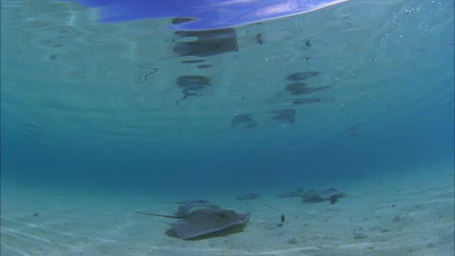 slo mo ws manta-rays (manta birostris) swimming at ocean floor / moorea, tahiti, french polynesia - moorea stock videos & royalty-free footage