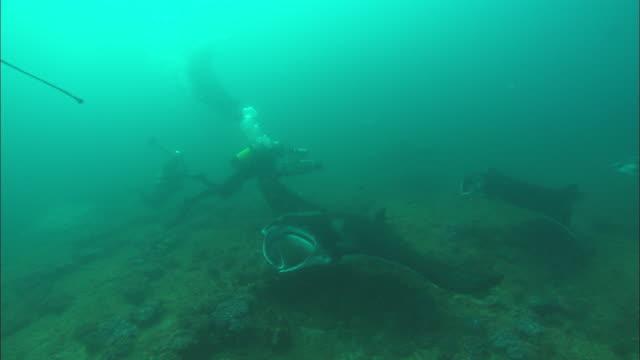 mantas with shark bite, camera moves among many, mozambique  - manta ray stock videos & royalty-free footage