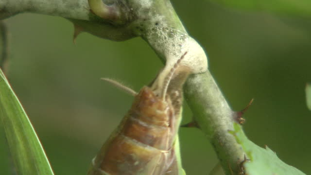 mantis depositing eggs on a branch - thorn stock videos & royalty-free footage