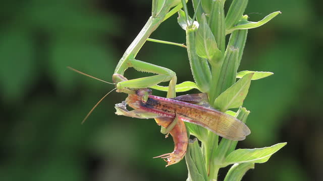 mantis eating male after mating - male animal stock videos & royalty-free footage