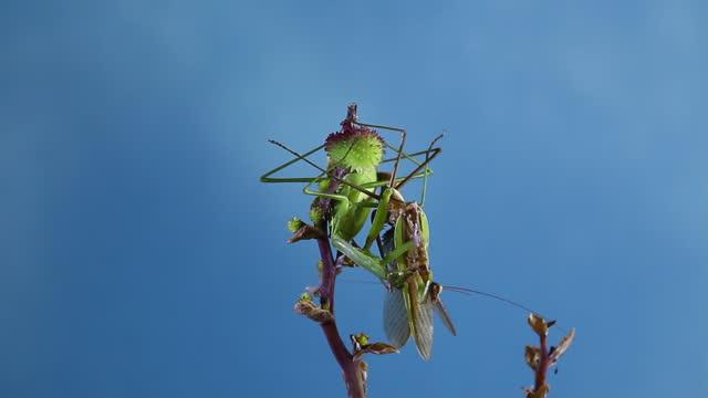 vídeos de stock, filmes e b-roll de mantis eating male after mating - parte do corpo animal