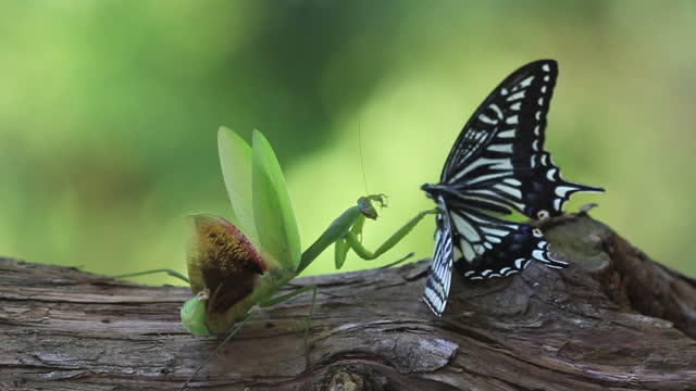 mantis hunting papilio xuthus (tiger swallowtail) - tree trunk stock videos & royalty-free footage