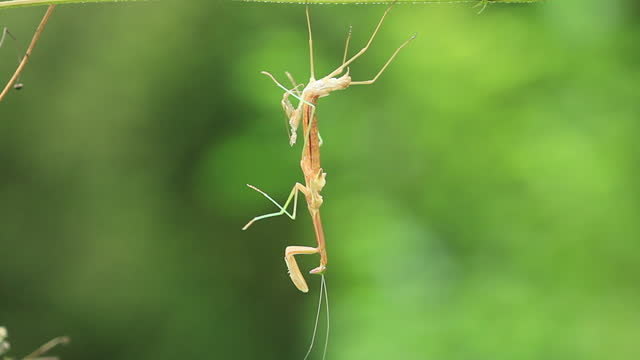 mantis molting - animal shell stock videos & royalty-free footage