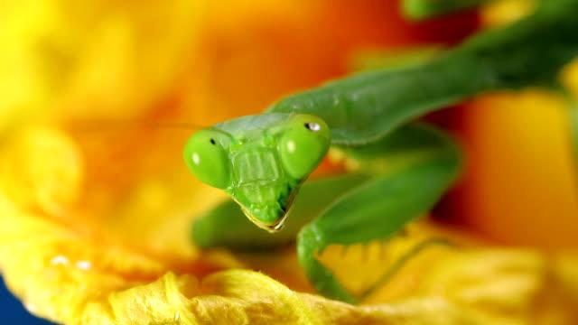 gottesanbeterin auf blume nahaufnahme - insekt stock-videos und b-roll-filmmaterial