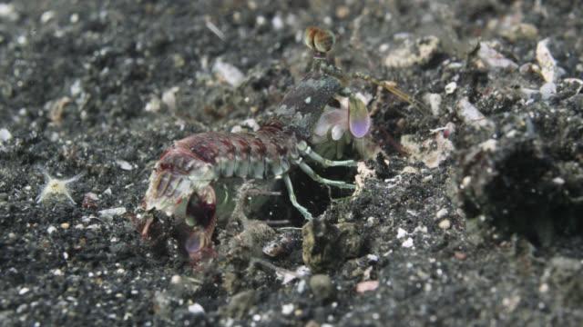 vídeos de stock e filmes b-roll de mantis shrimp (stomatopoda) digs burrow on seafloor, sulawesi, indonesia - criação animal
