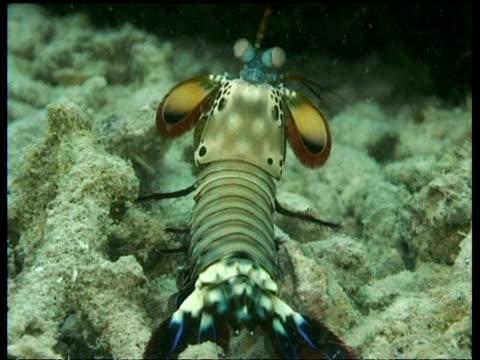 ms mantis shrimp in sandy rubble, looks around, runs off, mabul, borneo, malaysia - mabul island stock videos and b-roll footage