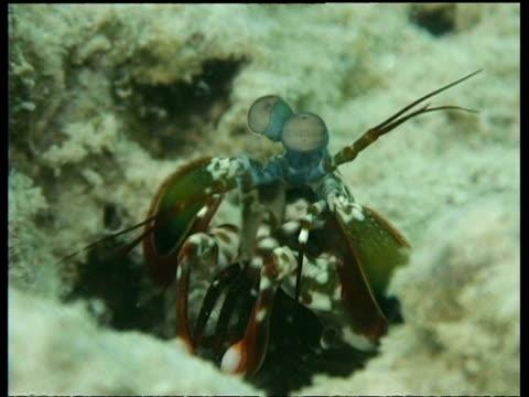 ms mantis shrimp, looks around, runs into reef crevice, mabul, borneo, malaysia - mabul island stock videos and b-roll footage