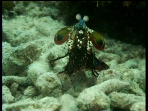 ms mantis shrimp, looks to camera, runs into reef crevice, mabul, borneo, malaysia - mabul island stock videos and b-roll footage