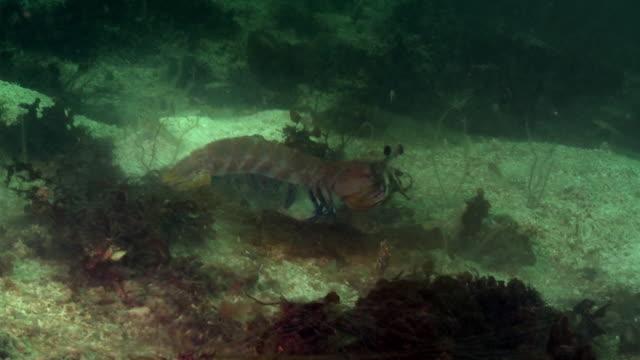 vídeos de stock e filmes b-roll de mantis shrimp swims on seabed - organismo aquático