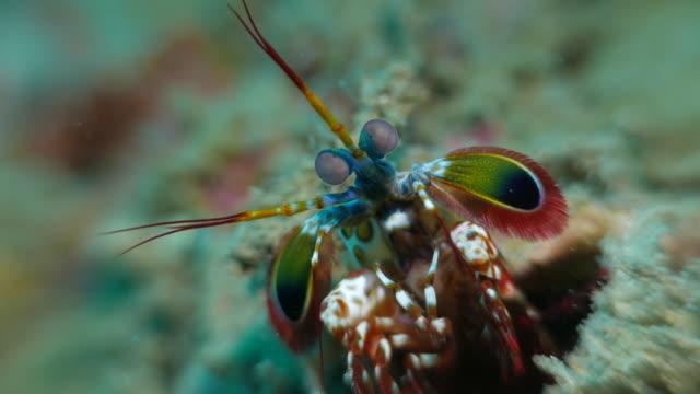 vidéos et rushes de crevettes mantis sous-marins - crustacé