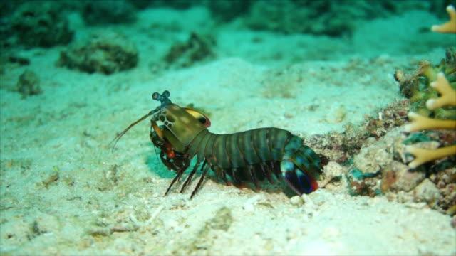 großer fangschreckenkrebs - krabbe stock-videos und b-roll-filmmaterial