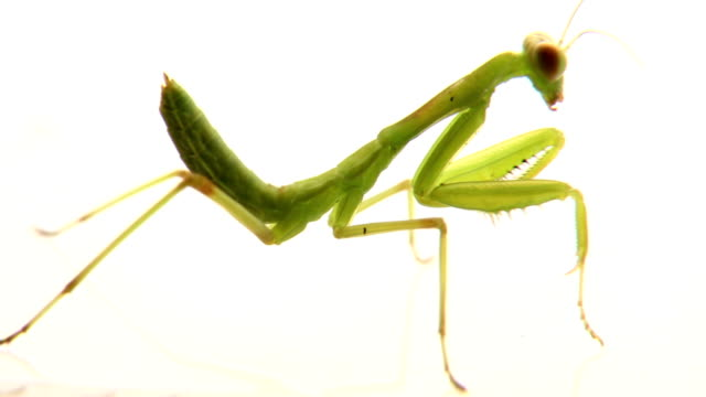 mantis turning head to camera - sideways glance stock videos & royalty-free footage