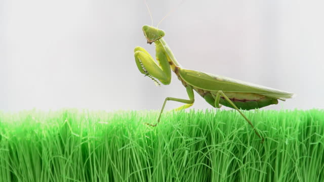 mantis - symbiotic relationship stock videos & royalty-free footage
