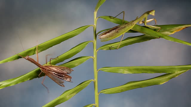 mantises mating - animals in the wild stock videos & royalty-free footage