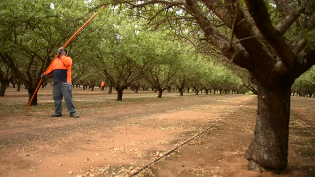 Manual workers called polers dislodge the last almonds from trees with long plastic poles they place into high branches and at Select Harvests almond...