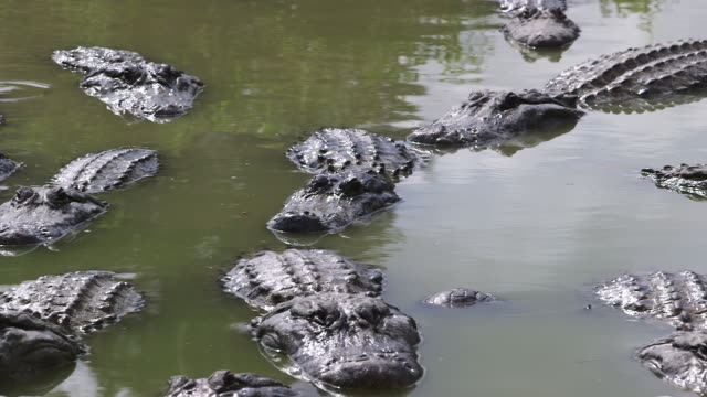 many alligators in water, just waiting - wiese stock videos & royalty-free footage