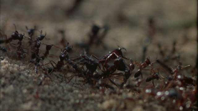cu many ants working, running, digging in sand / unspecified  - ameisen stock-videos und b-roll-filmmaterial