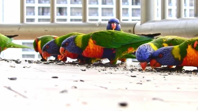 many beautiful birds australian rainbow lorikeets feeding together on balcony - animale selvatico video stock e b–roll