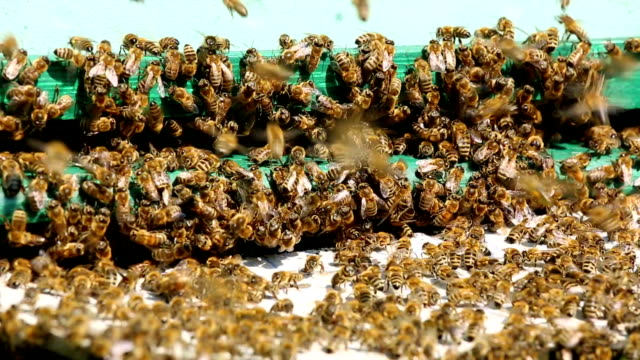 many bees flying in front of the hive + audio - swarm of insects stock videos & royalty-free footage