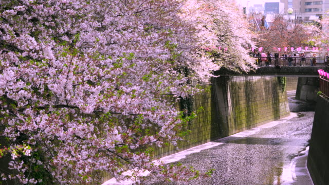 many cherry blossoms are falling down from rows of cherry trees to the meguro river.people are watching the fluttering cherry blossoms and cherry blossoms pink carpet from the bridge. - blütenblatt stock-videos und b-roll-filmmaterial