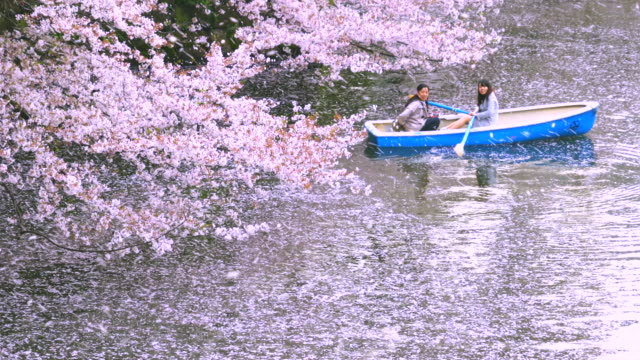 many cherry blossoms petals are fluttering and falling to the chidorigafuchi moat from rows of cherry trees. myriads of fallen cherry petals accumulate on the shiny water surface. - cherry blossom stock videos & royalty-free footage