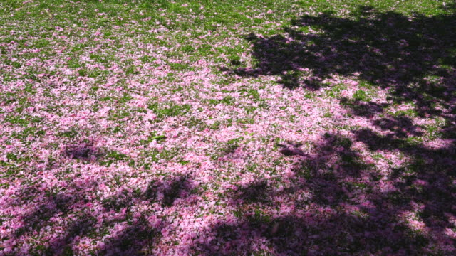 stockvideo's en b-roll-footage met many cherry petals are falling and covering the lawn, which is illuminated by late afternoon sunlight at central park new york ny usa on may 09 2018. - twijg