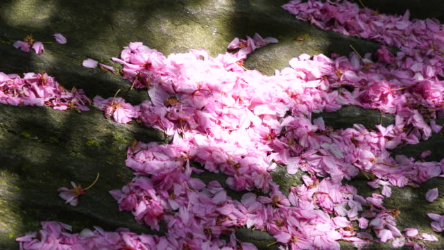 many cherry petals are falling and piled up on the rock, which is illuminated by late afternoon sunlight at central park new york ny usa on may 09 2018. - 花びら点の映像素材/bロール