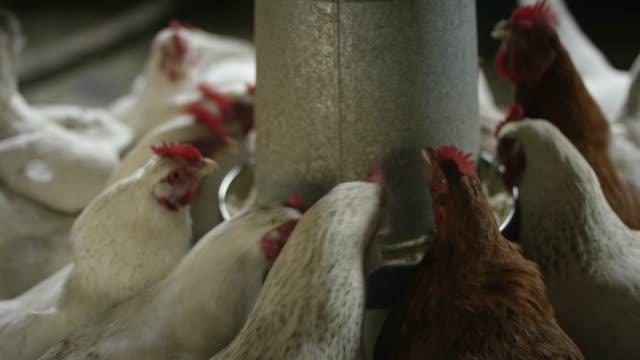 多くの鶏を食べる - 家畜点の映像素材/bロール