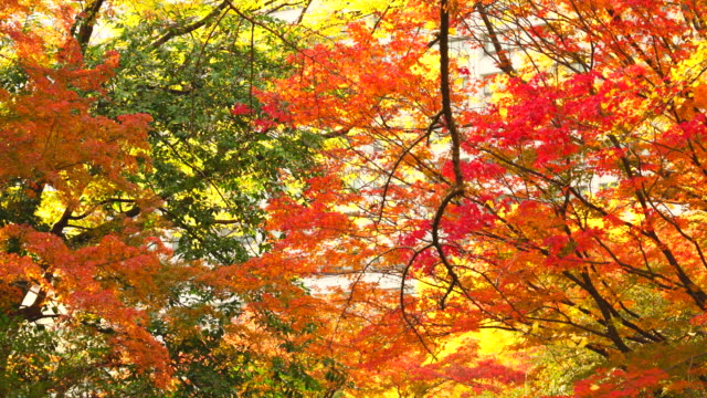 many colorful autumns leaves trees glow in the hibya park at hibiya, chiyoda tokyo japan on november 25 2017. - autumn leaf color stock videos and b-roll footage