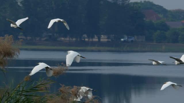 朝、沼地の上を飛ぶ多くのサギ - シラサギ点の映像素材/bロール